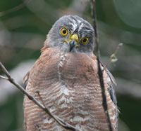 Variable Goshawk