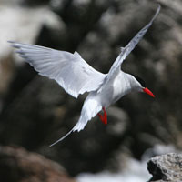 Antarctic-Tern