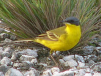 Eastern Yellow Wagtail (macronyx)