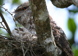 papuan_frogmouth